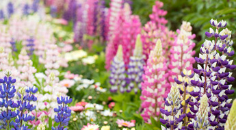 Closed up of beautiful multi color of lupine flower background